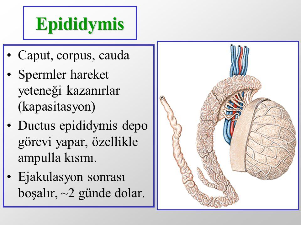 Epididymis Caput, corpus, cauda