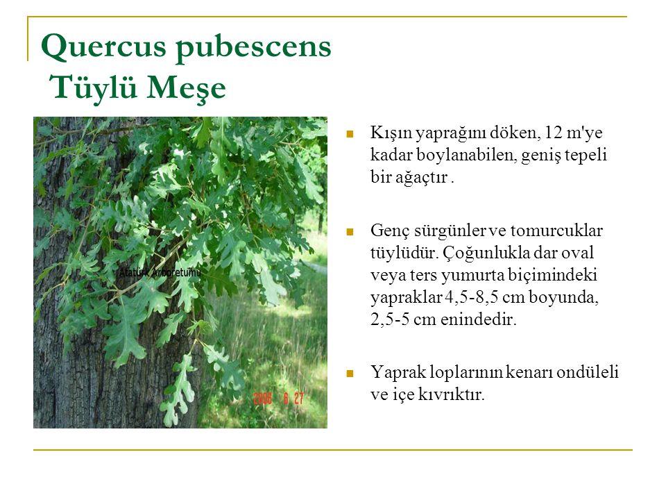 Quercus pubescens Tüylü Meşe