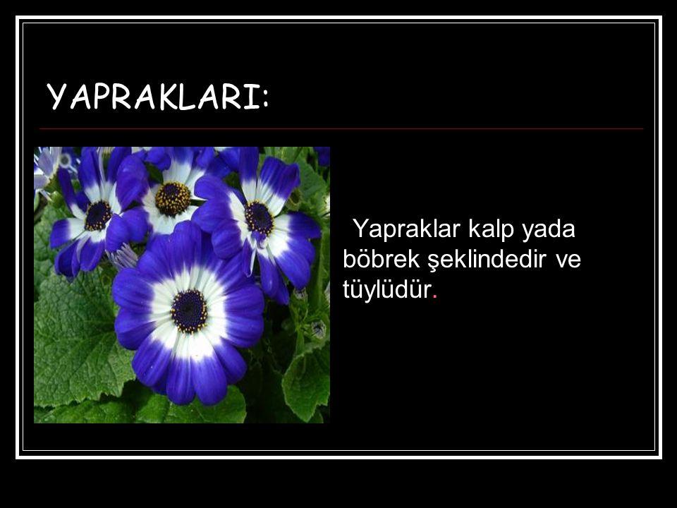 YAPRAKLARI: Yapraklar kalp yada böbrek şeklindedir ve tüylüdür.