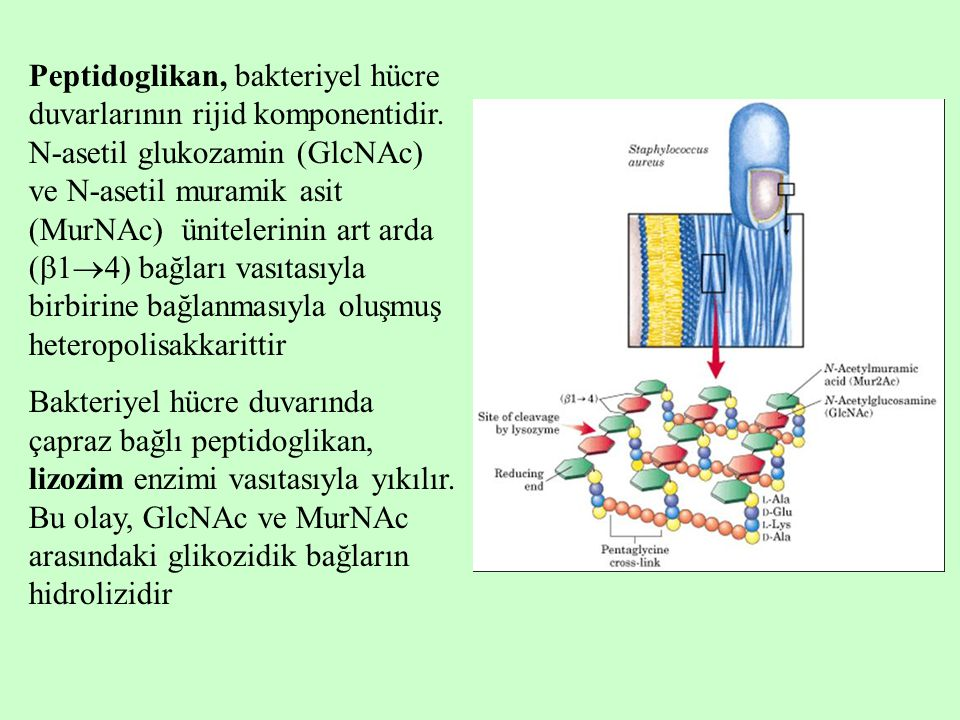 Peptidoglikan, bakteriyel hücre duvarlarının rijid komponentidir