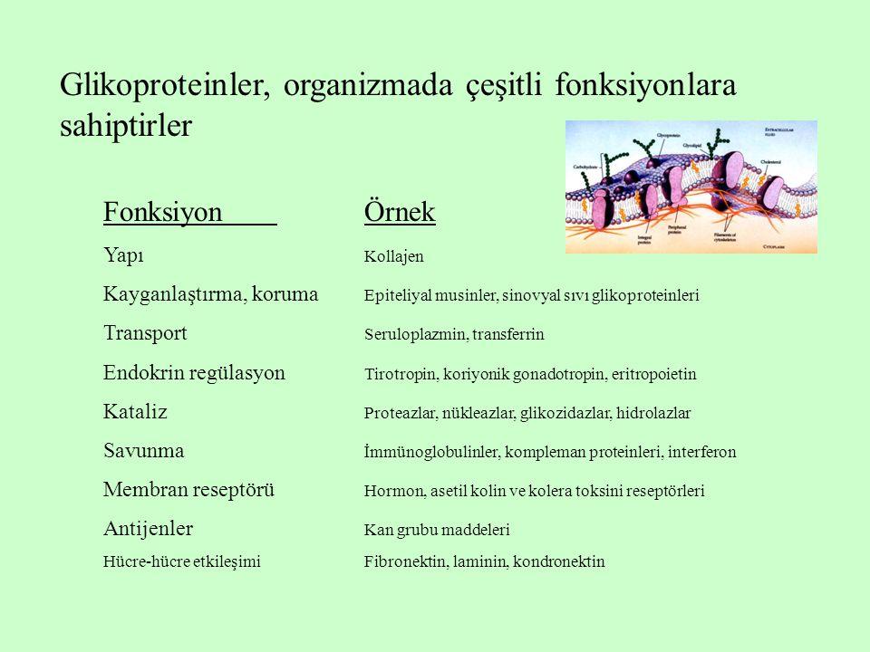 Glikoproteinler, organizmada çeşitli fonksiyonlara sahiptirler