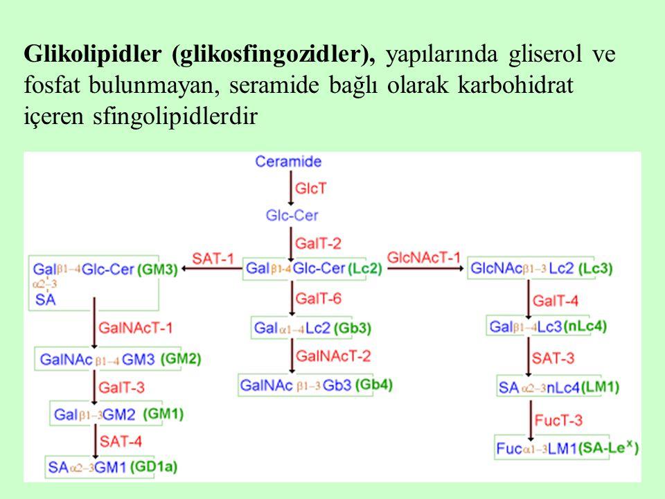 Glikolipidler (glikosfingozidler), yapılarında gliserol ve fosfat bulunmayan, seramide bağlı olarak karbohidrat içeren sfingolipidlerdir
