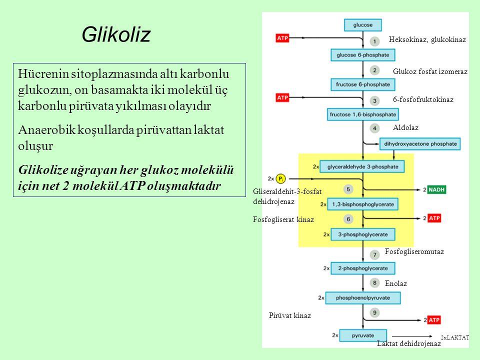 Heksokinaz, glukokinaz