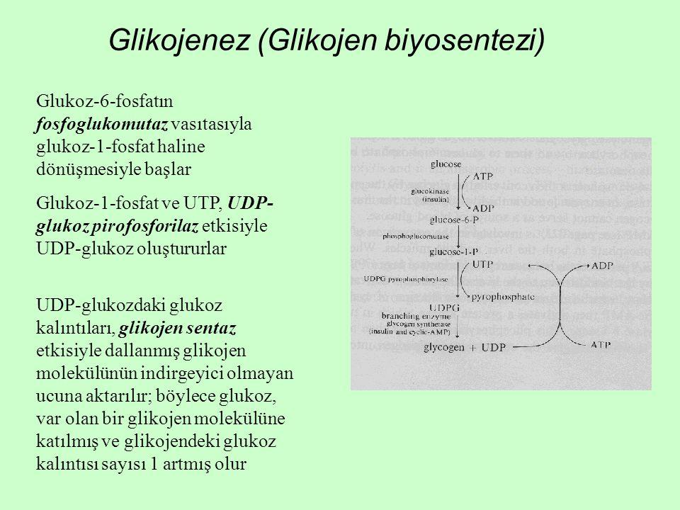 Glikojenez (Glikojen biyosentezi)
