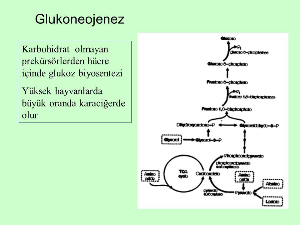 Glukoneojenez Karbohidrat olmayan prekürsörlerden hücre içinde glukoz biyosentezi.