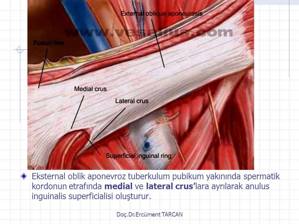 Eksternal oblik aponevroz tuberkulum pubikum yakınında spermatik kordonun etrafında medial ve lateral crus'lara ayrılarak anulus inguinalis superficialisi oluşturur.