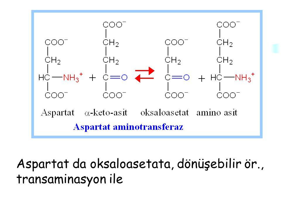 Aspartat da oksaloasetata, dönüşebilir ör., transaminasyon ile