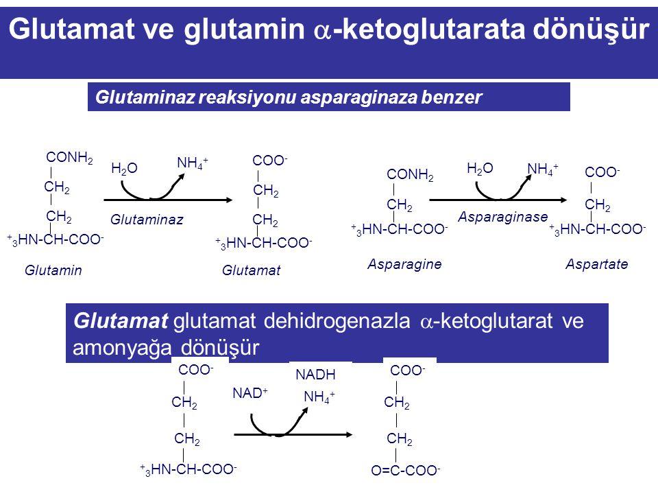 Glutamat ve glutamin a-ketoglutarata dönüşür