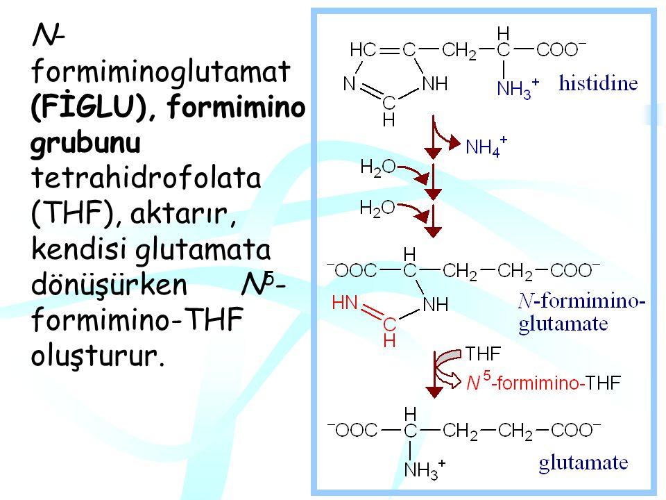 N-formiminoglutamat (FİGLU), formimino grubunu tetrahidrofolata (THF), aktarır, kendisi glutamata dönüşürken N5-formimino-THF oluşturur.