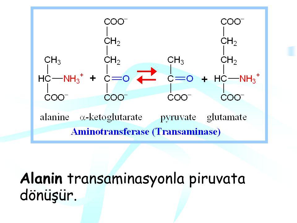 Alanin transaminasyonla piruvata dönüşür.