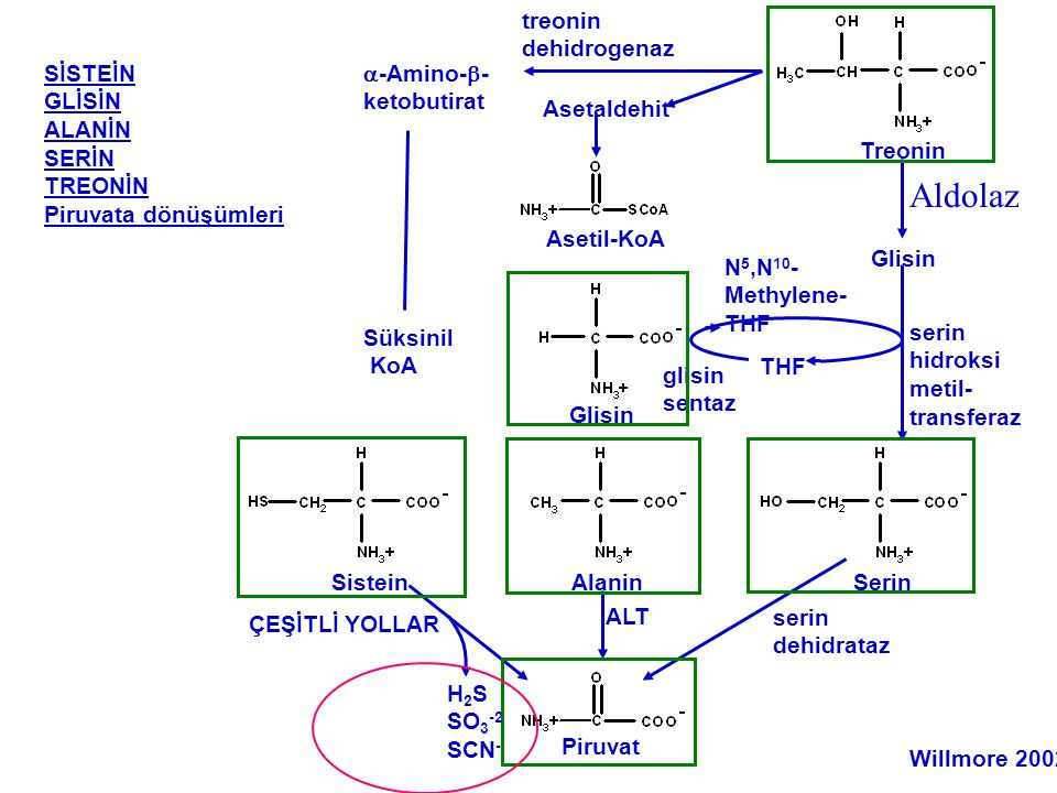 Aldolaz treonin dehidrogenaz SİSTEİN GLİSİN ALANİN SERİN TREONİN
