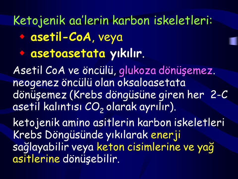 Ketojenik aa'lerin karbon iskeletleri: asetil-CoA, veya