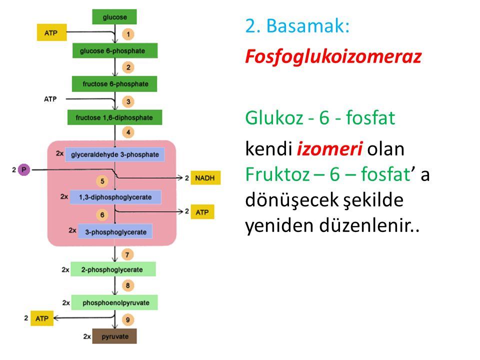 2. Basamak: Fosfoglukoizomeraz Glukoz - 6 - fosfat kendi izomeri olan Fruktoz – 6 – fosfat' a dönüşecek şekilde yeniden düzenlenir..