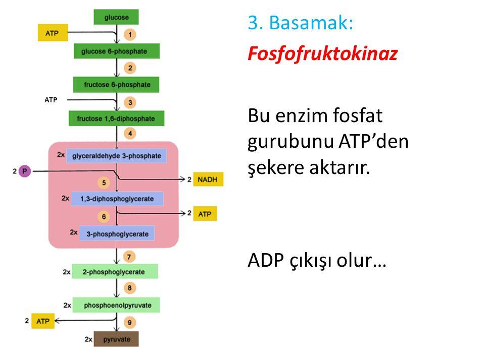 3. Basamak: Fosfofruktokinaz Bu enzim fosfat gurubunu ATP'den şekere aktarır. ADP çıkışı olur…