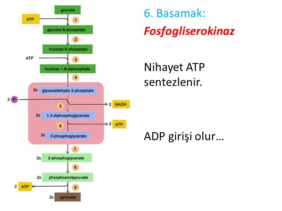 6. Basamak: Fosfogliserokinaz Nihayet ATP sentezlenir. ADP girişi olur…