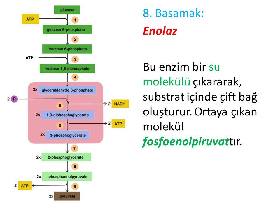 8. Basamak: Enolaz Bu enzim bir su molekülü çıkararak, substrat içinde çift bağ oluşturur. Ortaya çıkan molekül fosfoenolpiruvattır.