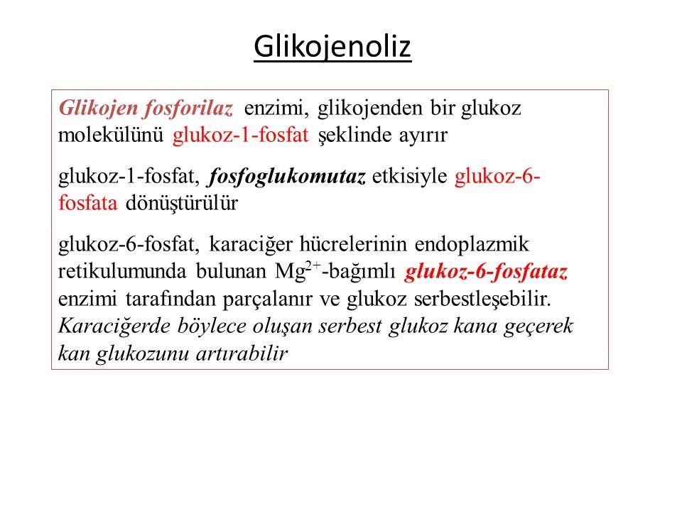 Glikojenoliz Glikojen fosforilaz enzimi, glikojenden bir glukoz molekülünü glukoz-1-fosfat şeklinde ayırır.