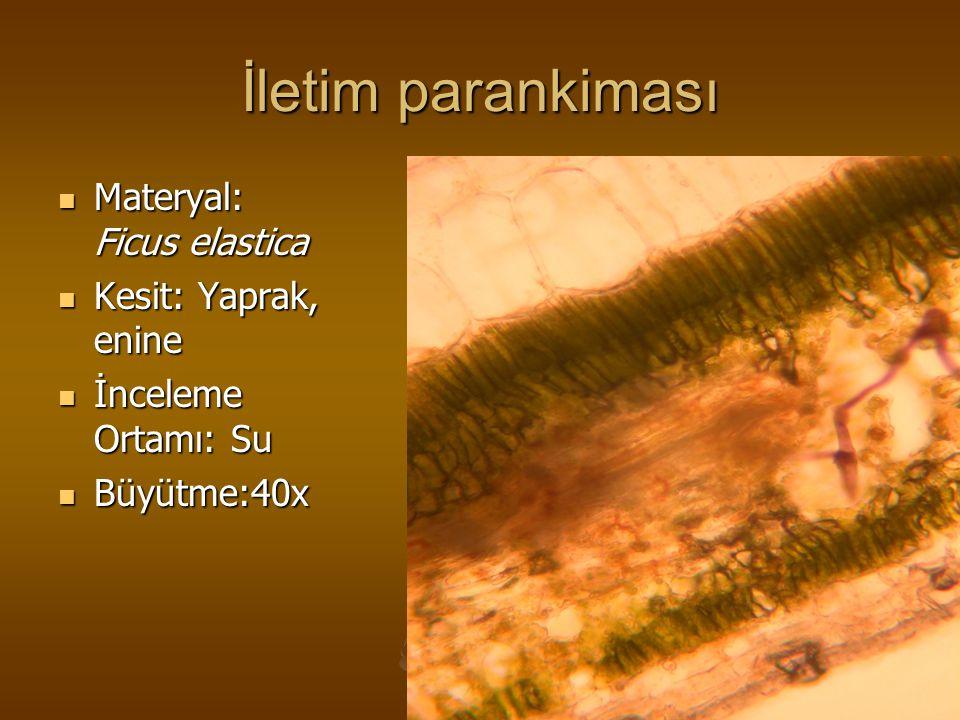 İletim parankiması Materyal: Ficus elastica Kesit: Yaprak, enine