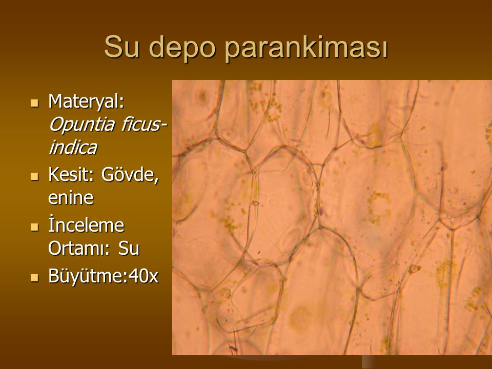 Su depo parankiması Materyal: Opuntia ficus-indica Kesit: Gövde, enine