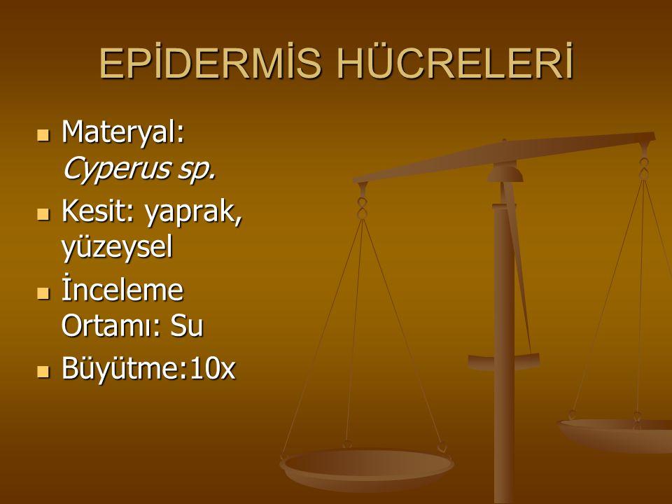 EPİDERMİS HÜCRELERİ Materyal: Cyperus sp. Kesit: yaprak, yüzeysel