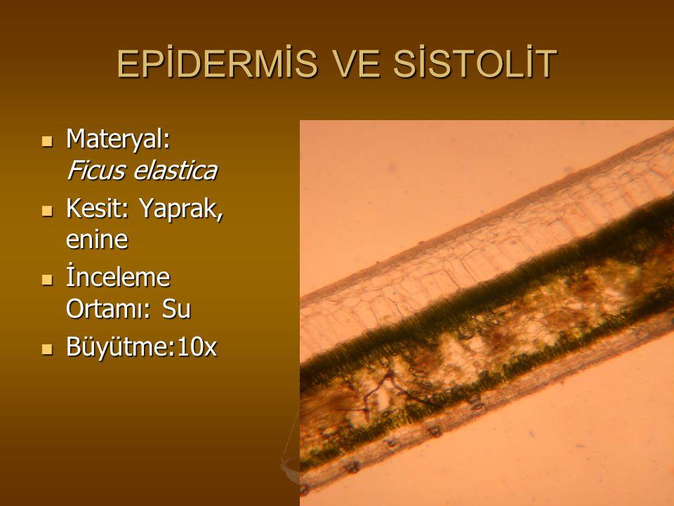 EPİDERMİS VE SİSTOLİT Materyal: Ficus elastica Kesit: Yaprak, enine