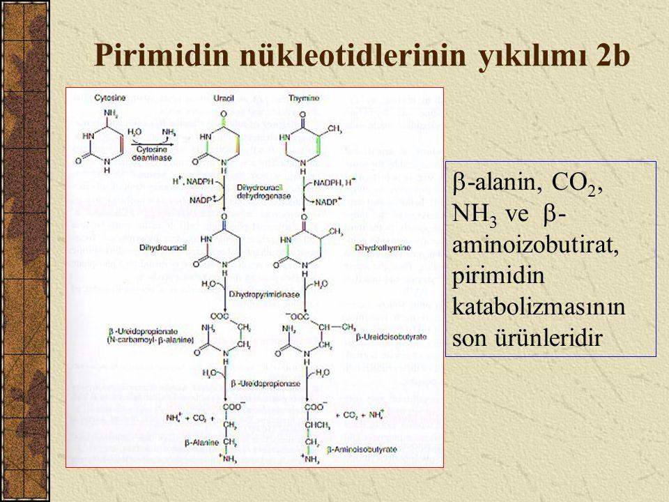 Pirimidin nükleotidlerinin yıkılımı 2b