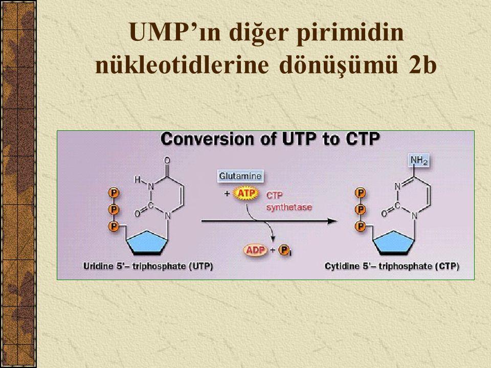 UMP'ın diğer pirimidin nükleotidlerine dönüşümü 2b