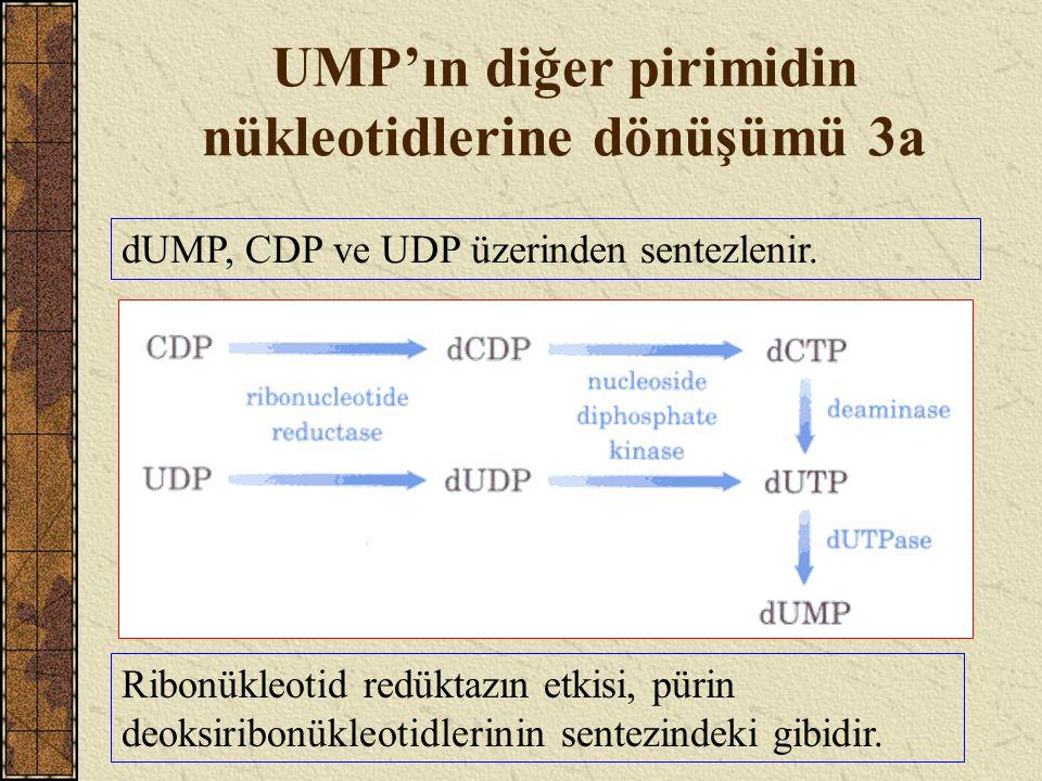UMP'ın diğer pirimidin nükleotidlerine dönüşümü 3a