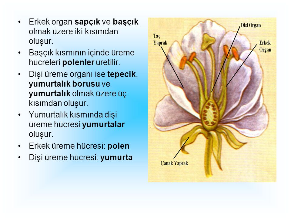 Erkek organ sapçık ve başçık olmak üzere iki kısımdan oluşur.