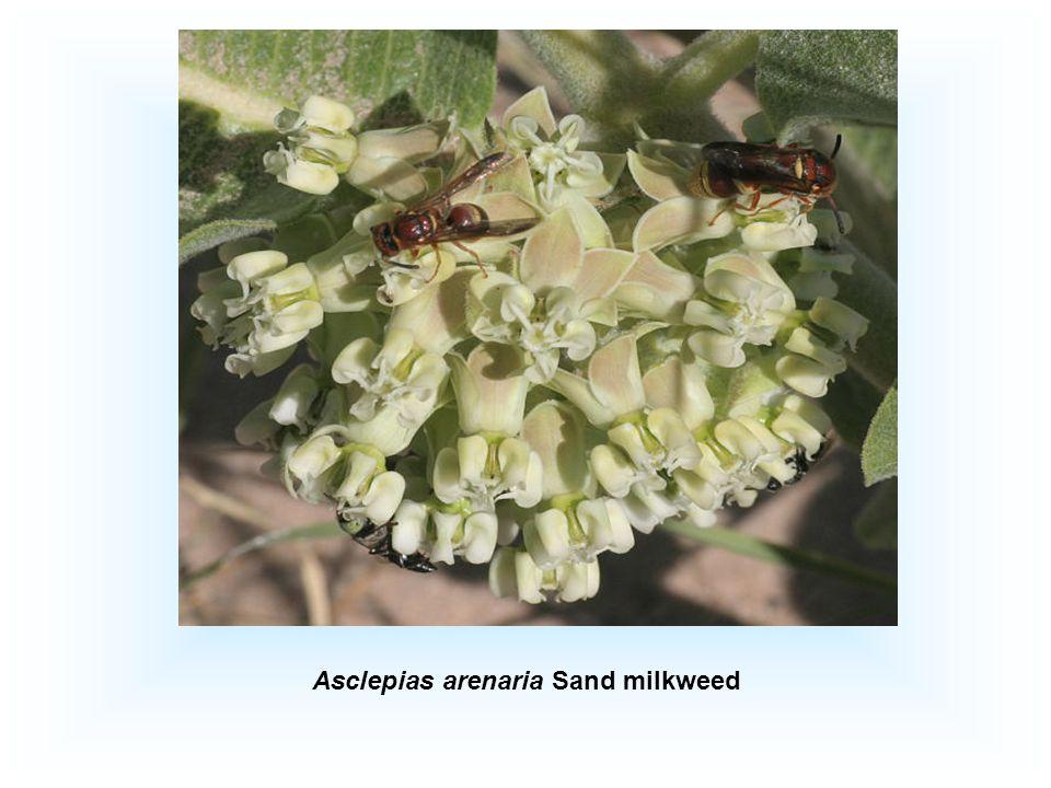 Asclepias arenaria Sand milkweed