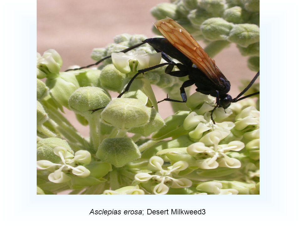 Asclepias erosa; Desert Milkweed3