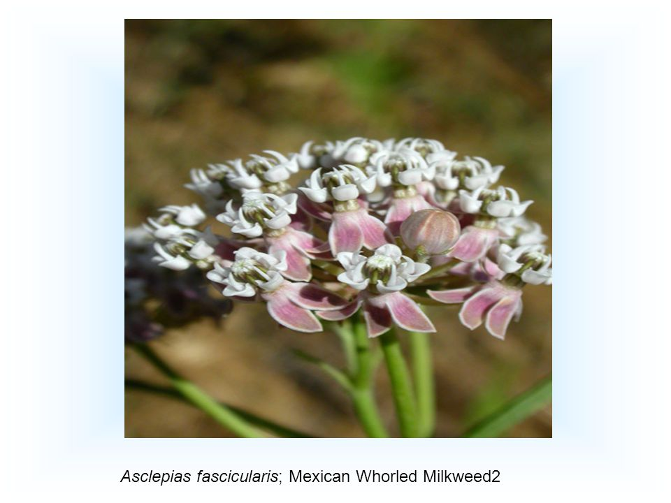 Asclepias fascicularis; Mexican Whorled Milkweed2