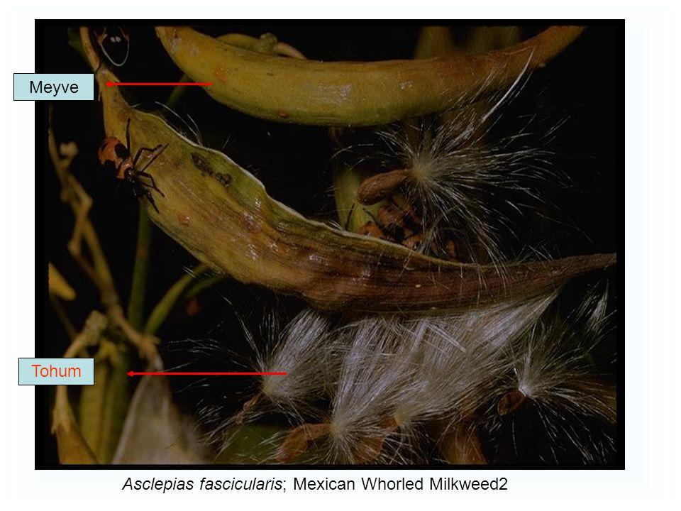 Meyve Tohum Asclepias fascicularis; Mexican Whorled Milkweed2