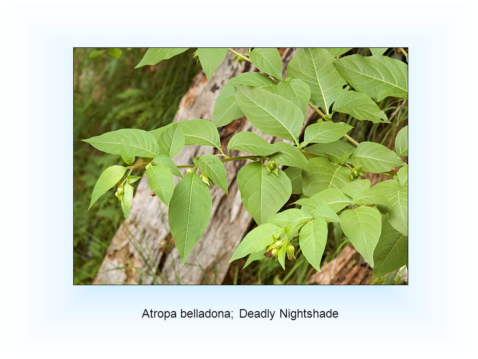 Atropa belladona; Deadly Nightshade