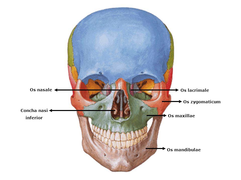 Os nasale Os lacrimale Os zygomaticum Concha nasi inferior Os maxillae Os mandibulae