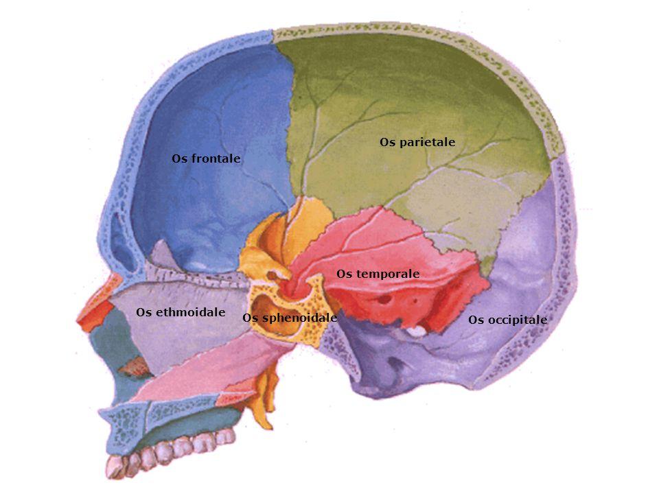 Os parietale Os frontale Os temporale Os ethmoidale Os sphenoidale Os occipitale