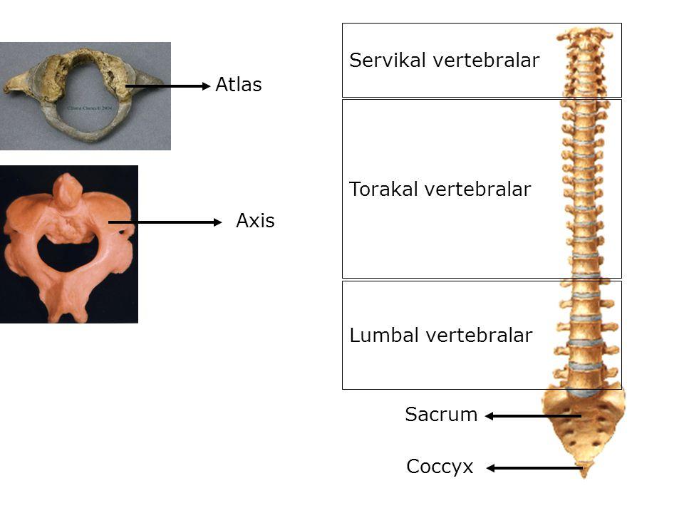 Servikal vertebralar Atlas Torakal vertebralar Axis Lumbal vertebralar Sacrum Coccyx