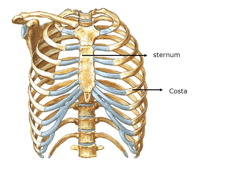 sternum Costa
