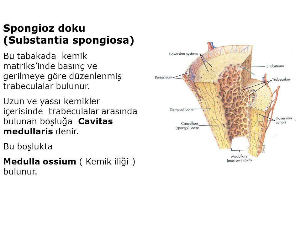 Spongioz doku (Substantia spongiosa)