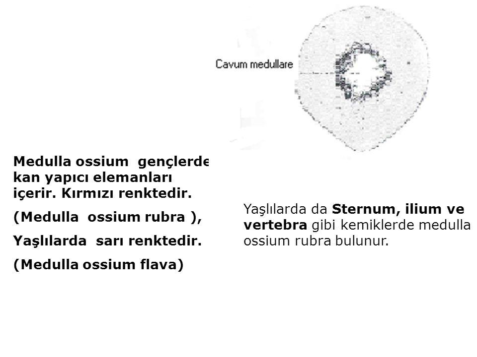 Medulla ossium gençlerde kan yapıcı elemanları içerir