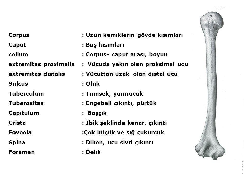 Corpus : Uzun kemiklerin gövde kısımları