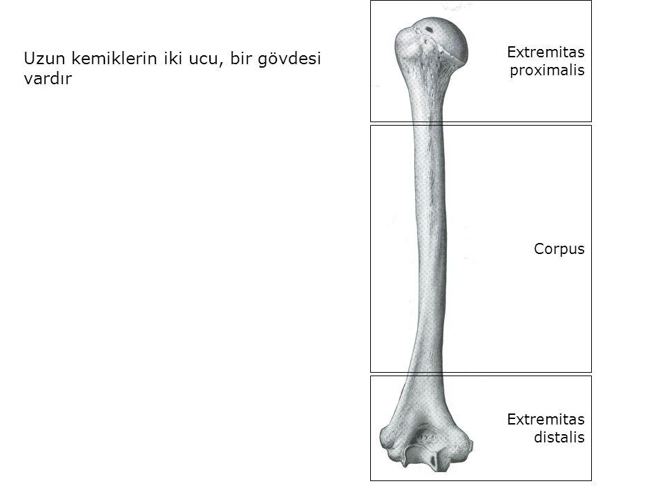 Uzun kemiklerin iki ucu, bir gövdesi vardır