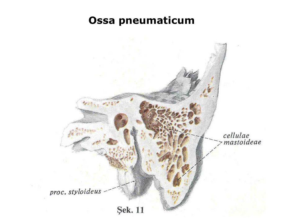 Ossa pneumaticum