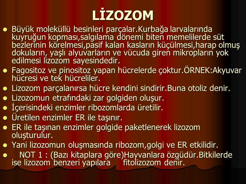 LİZOZOM