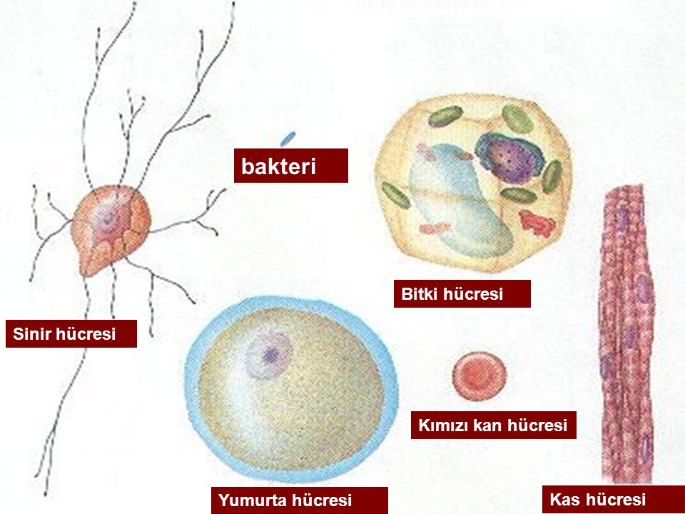 bakteri Bitki hücresi Sinir hücresi Kımızı kan hücresi Yumurta hücresi