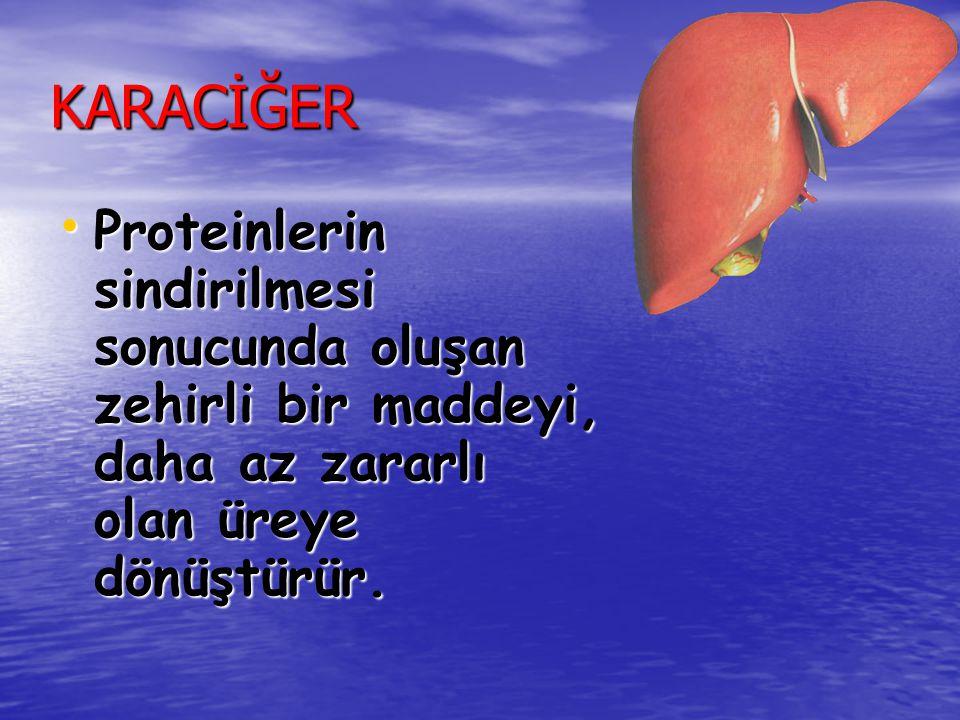 KARACİĞER Proteinlerin sindirilmesi sonucunda oluşan zehirli bir maddeyi, daha az zararlı olan üreye dönüştürür.