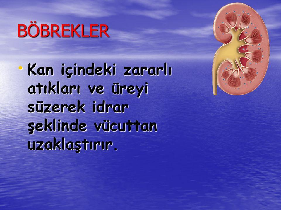 BÖBREKLER Kan içindeki zararlı atıkları ve üreyi süzerek idrar şeklinde vücuttan uzaklaştırır.