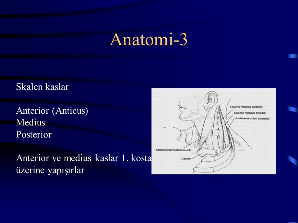 Anatomi-3 Skalen kaslar Anterior (Anticus) Medius Posterior