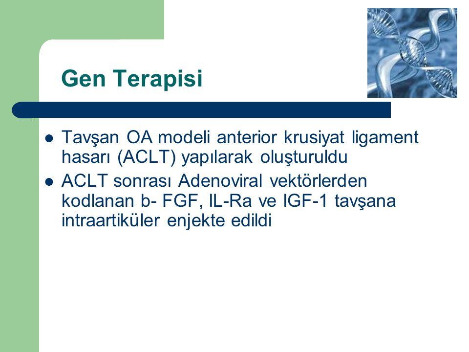 Gen Terapisi Tavşan OA modeli anterior krusiyat ligament hasarı (ACLT) yapılarak oluşturuldu.