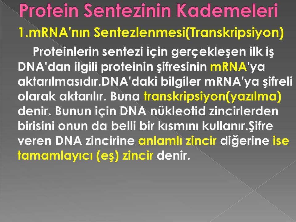 Protein Sentezinin Kademeleri